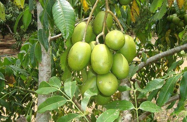 cóc bao nhiêu calo, cóc chín bao nhiêu calo, cóc có bao nhiêu calo, 100g cóc chứa bao nhiêu calo, cóc chứa bao nhiêu calo, 100g cóc bao nhiêu calo, 1 quả cóc bao nhiêu calo, 1 trái cóc bao nhiêu calo, 1 quả cóc chứa bao nhiêu calo, một quả cóc chứa bao nhiêu calo, quả cóc calo, ăn cóc giảm cân, quả cóc bao nhiêu calo, 100g quả cóc bao nhiêu calo, một quả cóc bao nhiêu calo, quả cóc có bao nhiêu calo, quả cóc chứa bao nhiêu calo